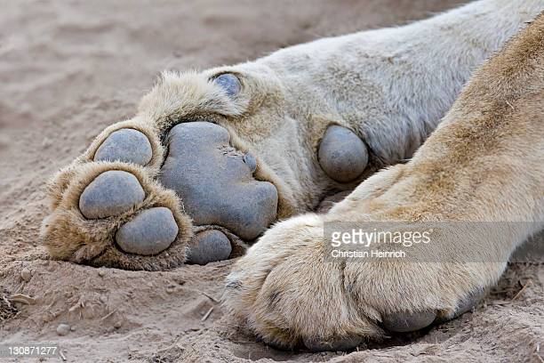paws of a lioness or lion (panthera leo), south luangwa national park, zambia, africa - big foot stock photos and pictures