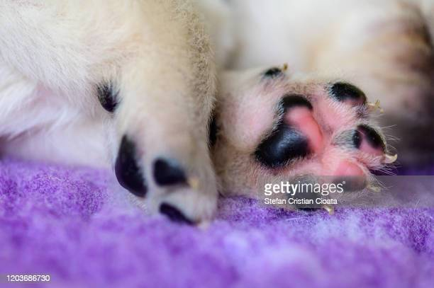 paws of labrador puppy - extreme close up stock pictures, royalty-free photos & images