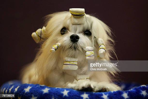 Pawsi a Maltese sits in her bed after being shown during the 132nd Annual Westminster Kennel Club Dog Show at Madison Square Garden February 12 2008...