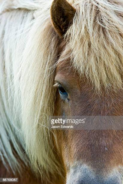 A face on portrait of a Shetland Pony with it's thick, blonde mane.