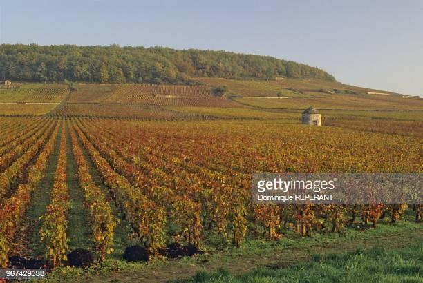Paysage de Bourgogne le vignoble de la cote de Beaune a SavignylesBeaune cabotte isolee dans les vignes et couleurs d'automne Coted'Or France Europe...