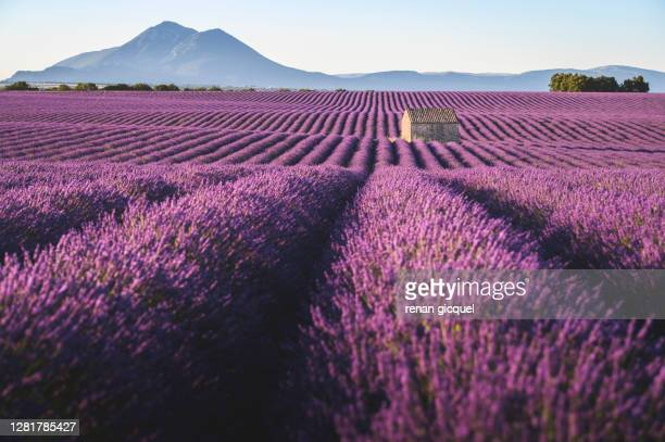 paysage de lavande - provence alpes cote d'azur stock pictures, royalty-free photos & images
