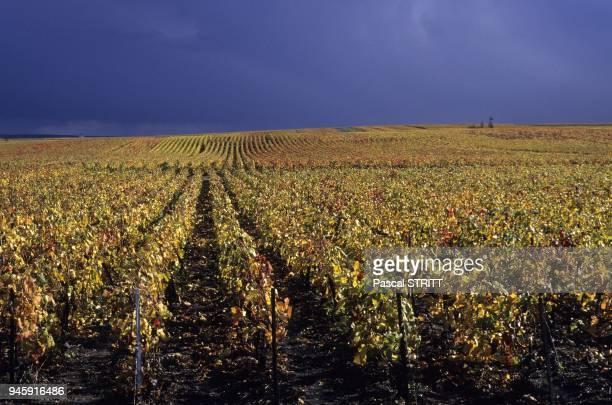 paysage de vignes en automne