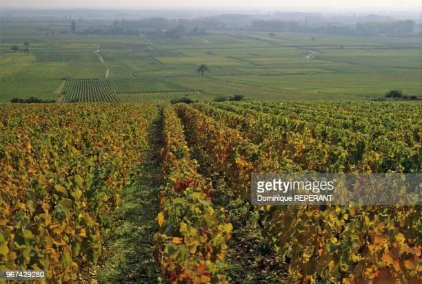 Paysage du vignoble de la cote de Beaune les vignes a perte de vue depuis le village de Volnay couleurs d'automne Coted'Or France Europe