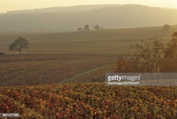 Paysage du vignoble de la cote de Beaune les vignes en automne au coucher du soleil aux environs d'AloxeCorton Coted'Or France Europe
