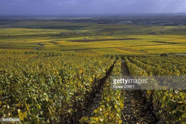 paysage viticole de la cote des blancsen automne