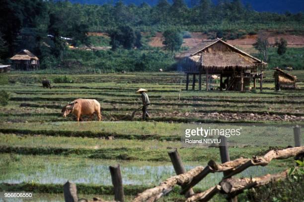Paysan avec son buffle dans une rizière en juillet 1975 au Laos