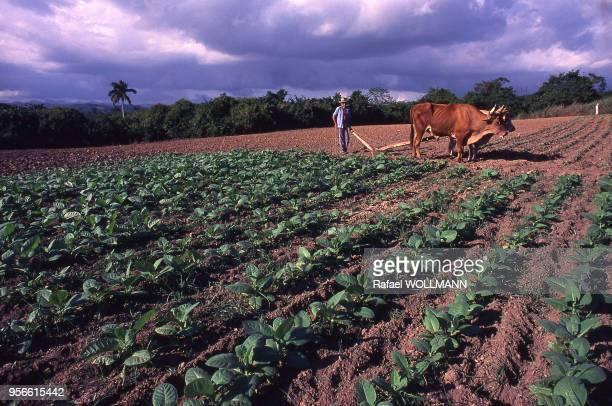 Paysan dans un champ de tabac à Cuba en mai 1987