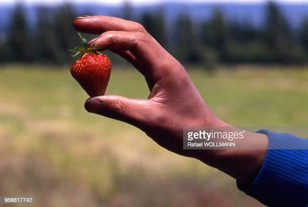 Paysan présentant une fraise à Los Antiguos Argentine