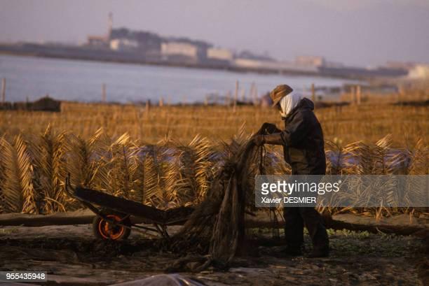 Paysan répandant de l'algue séchée mélangée à de la cendre dans un champ à Naruto au Japon