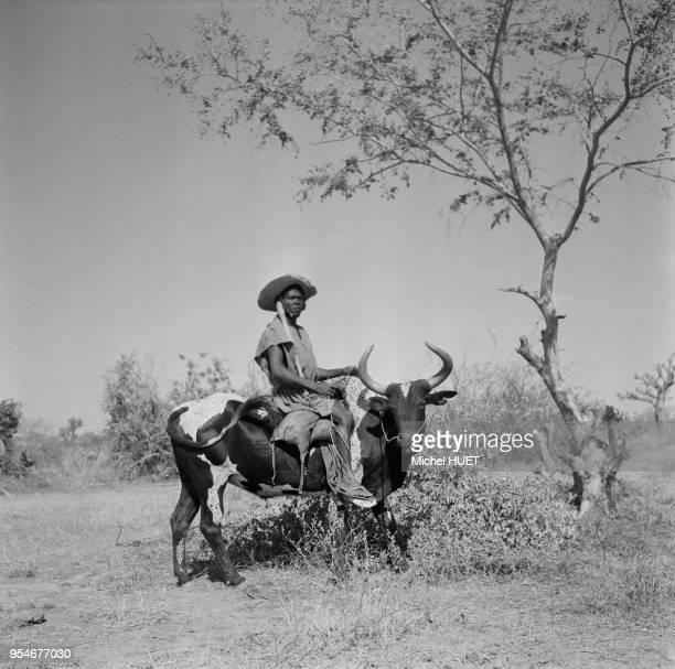 Paysan se déplaçant à dos de zébu en Côte dIvoire circa 1950