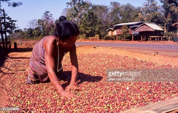 Paysanne Katu faisant secher les grains de cafe dans une plantation de la province de Saravane, Laos.