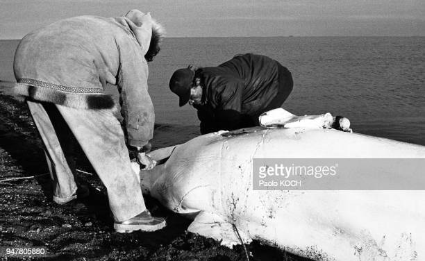 Pêcheurs Inuits dépeçant un béluga près de Kitigaaryuit, Canada.