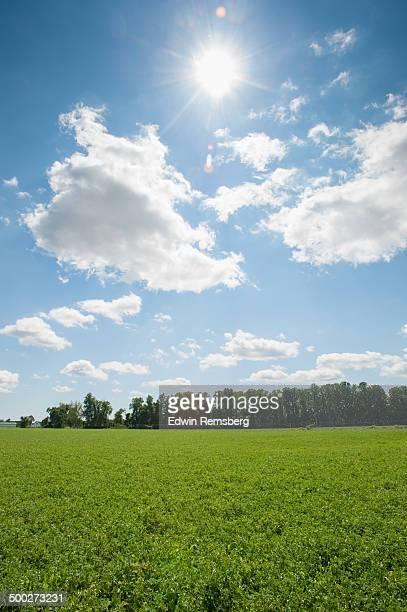 Pea field in Preston, Maryland