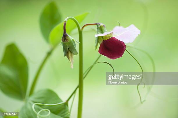 Pea Pisum sativum 'Purple podded' Bicoloured purple and white pea flower on bent stem