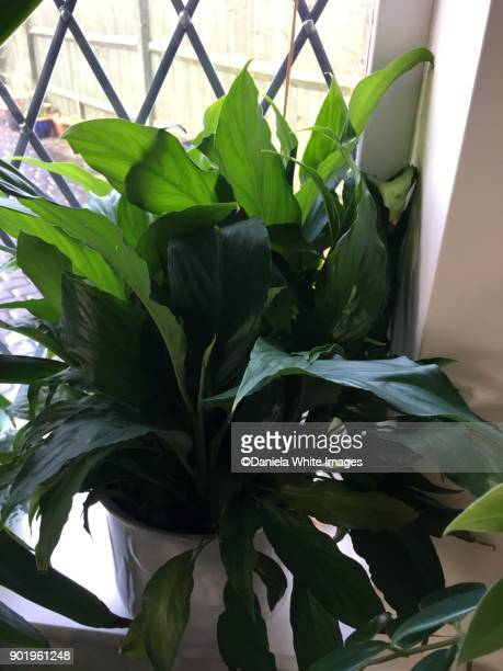 peace lilies - peace lily stock pictures, royalty-free photos & images