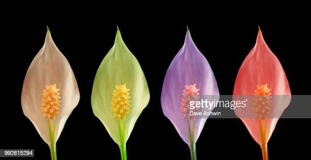 peace lilly flower spathiphyllum wallisii - dave ashwin stock pictures, royalty-free photos & images