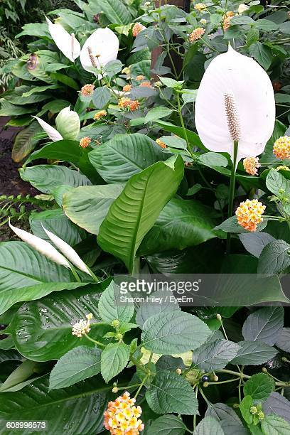 peace lily and lantana camara blooming on plant at park - peace lily stock pictures, royalty-free photos & images