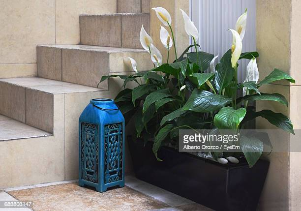 peace lily growing in pot by blue lantern - peace lily stock pictures, royalty-free photos & images