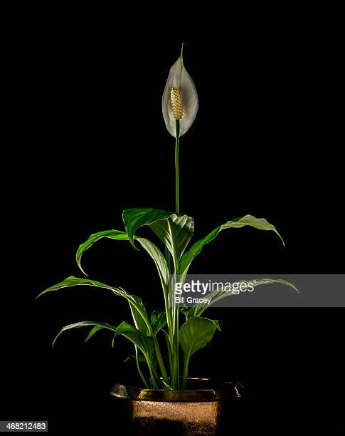 peace lily in copper pot - peace lily stock pictures, royalty-free photos & images