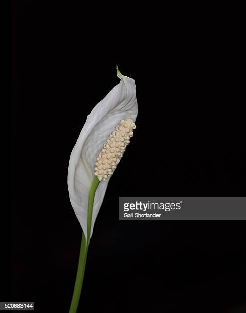 peace lily (spathiphyllum) - peace lily stock pictures, royalty-free photos & images