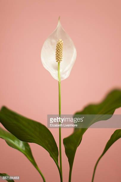 peace lily - peace lily stock pictures, royalty-free photos & images