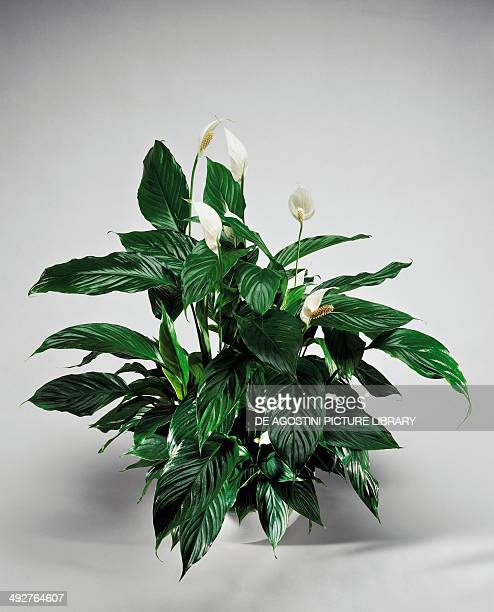 Peace lily White sails or Spathe flower Araceae