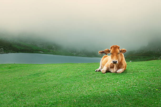Peaceful cow
