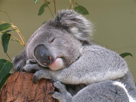 peaceful koala bear 182165202