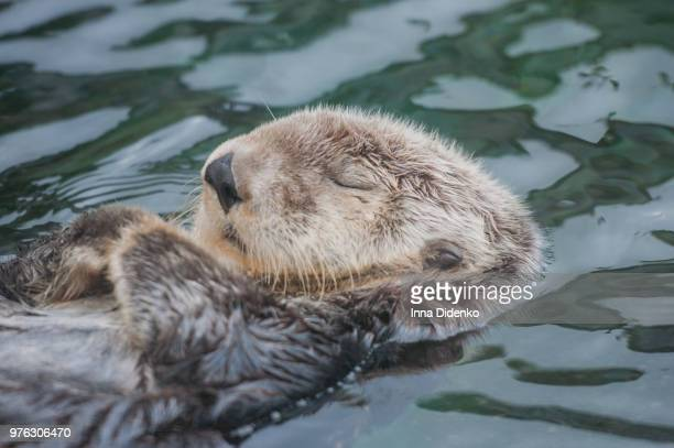 peaceful sleep - sea otter stock photos and pictures