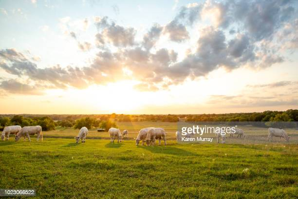 peaceful sunset on texas ranch - texas stock pictures, royalty-free photos & images