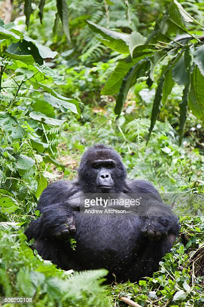 Peacemaker is the oldest Silverback of the Bitukura Mountain Gorilla group The Bitukura group has 14 gorillas in total and is in the Bwindi...