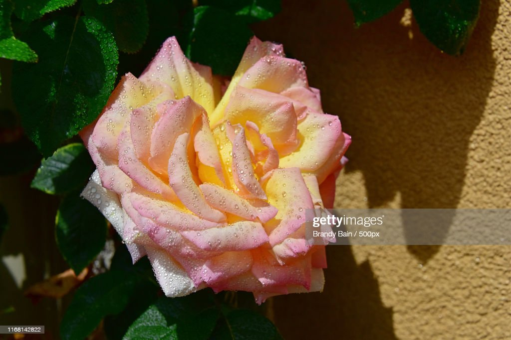 Peach And Yellow Rose With Dew : Stock Photo