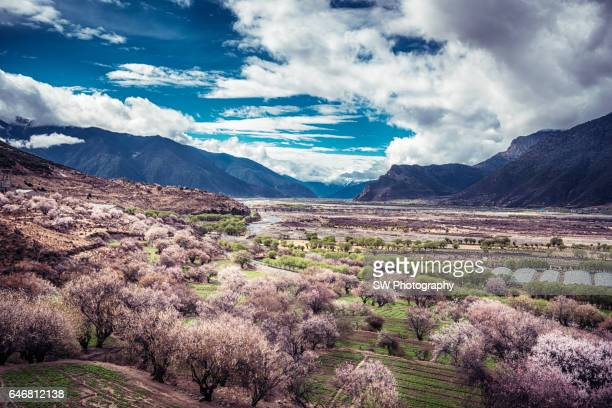 peach blossom along the yarlung tsangpo river - peach flower stockfoto's en -beelden