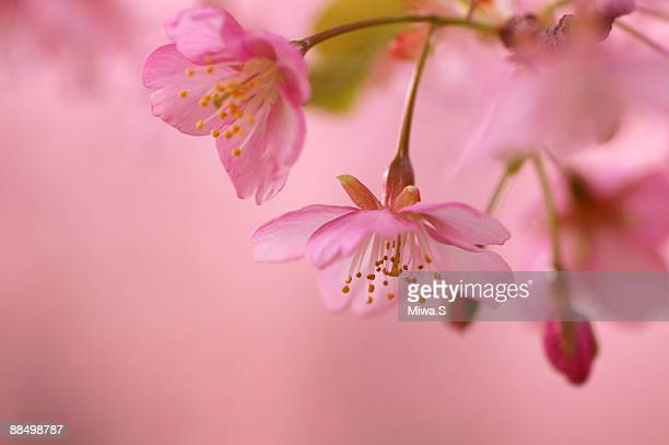 Peach blossom, close-up