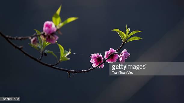 peach blossom in spring - peach blossom bildbanksfoton och bilder