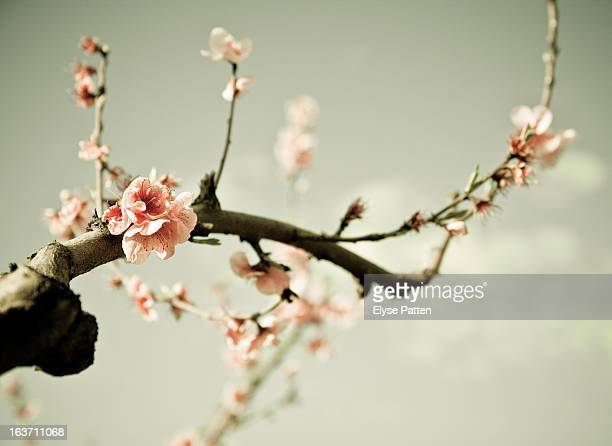 peach blossom - peach flower stockfoto's en -beelden