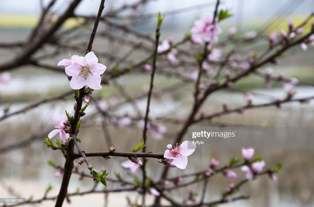 Peach blossom : Stock-Foto