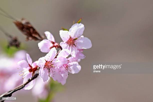 peach blossom - bucheon stock pictures, royalty-free photos & images