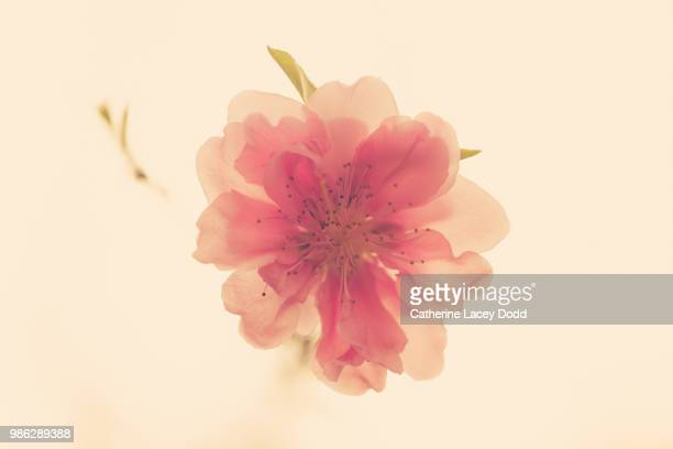peach blossom - peach blossom stock pictures, royalty-free photos & images