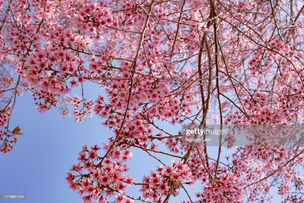 Peach blossom season : Stock Photo