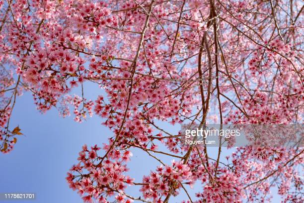 peach blossom season - peach blossom stock pictures, royalty-free photos & images
