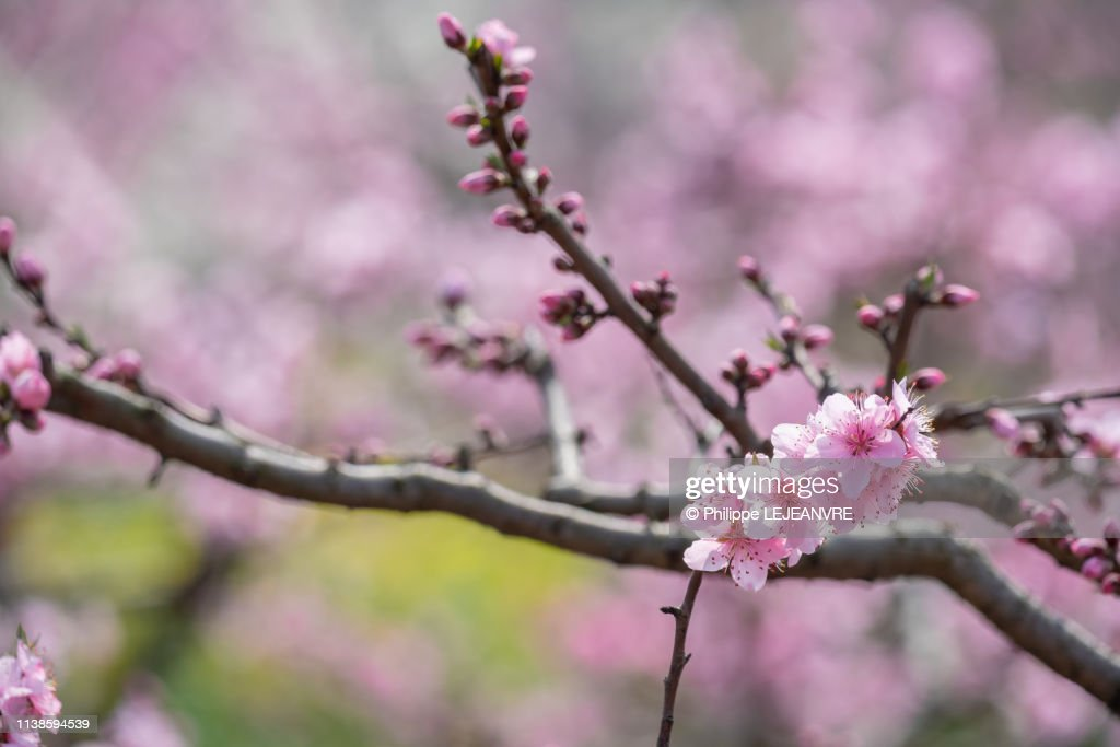 Peach blossom tree flowers close-up in Chengdu : Stock Photo