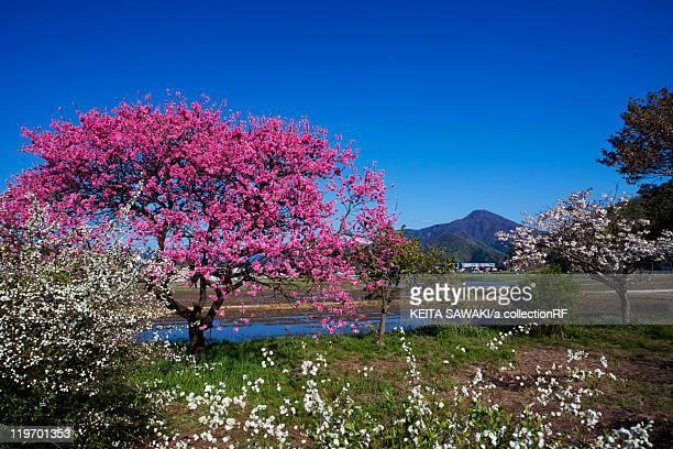peach blossom tree - fukui prefecture - fotografias e filmes do acervo