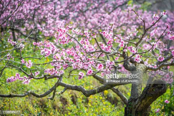 peach blossom trees field in chengdu - peach blossom stock pictures, royalty-free photos & images