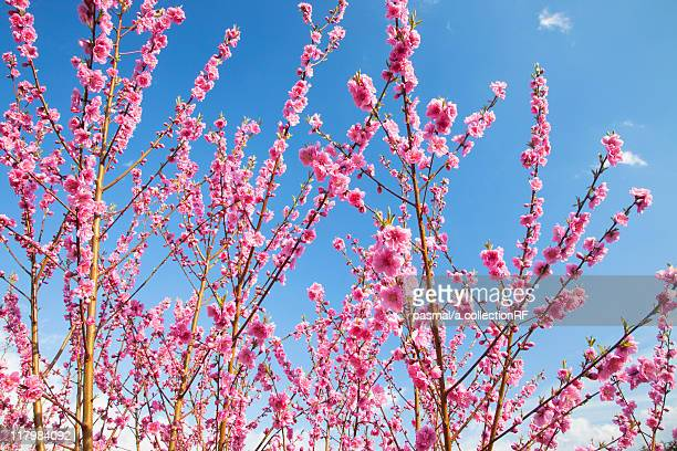 peach blossom trees - peach blossom stock pictures, royalty-free photos & images