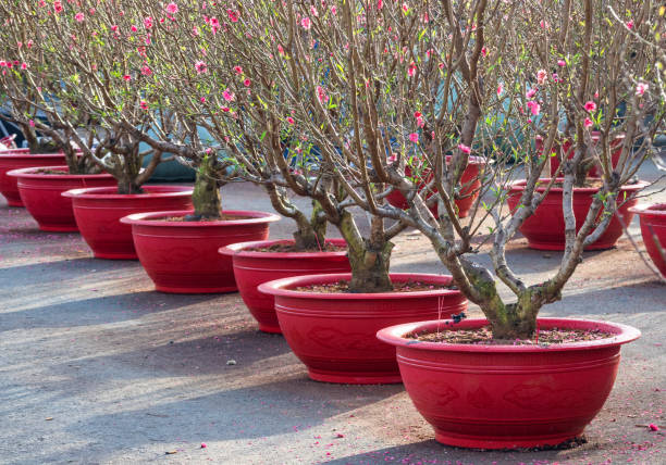 Peach blossoming selling in market