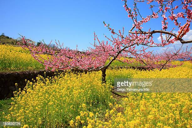 peach blossoms and field mustard, yamanashi prefecture - peach blossom stock pictures, royalty-free photos & images
