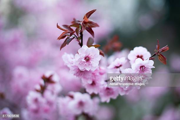 Peach Blossoms Blooming