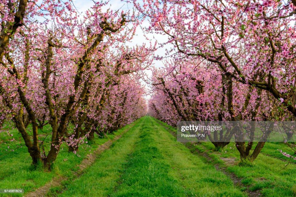 Peach blossoms in a farm in Fresno : Stock Photo